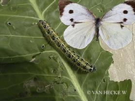 vlinders, soorten, ongedierte, koolwitje, koolwitjes, rupsen, kolen, bladeren, vlinder, rups, kool, verspreiding, tuin, koolbladeren, gaten, schade, vraatschade, aangetaste bladeren, witte, bloemen