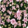 Bouvardia, Diamond Lightpink, dubbelbloemige, snijbloem, soorten, snijbloemen, kamerplant