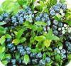 Blauwe, bessen, kleur, in het najaar, eten, rode, bes, sierbes, siertuin