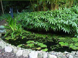 Bamboe, planten, vijver, folie, doorboren, woekeren, vijverfolie, soorten, niet, woekerende, bamboes, wintergroene, wintergroen, bladeren, tuin, sfeer, kopen, bestellen, kiezen, vijvers, beschermen