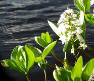 waterplanten, soorten, diepte, planten, beplanten, vijver, beplanting, vijvers, oeverplanten, afbeeldingen, kopen, euro, vijverwinkel, aquarium, winkel