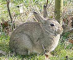 konijnen, tuin, weren, vangen, hazen, haas, konijn, soorten, tuinplanten, giftig, doden, dood, ziekte, konijnenziekte, ziektes