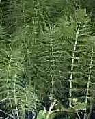 heermoes, onkruid, bestrijden, onkruiden, equisetum, bestrijding, onkruidbestrijdingsmiddel
