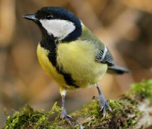 soorten, vogels, winter, herkennen, soort, mus, mussen, merel, merels, vink, roodborstje