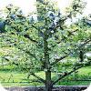 Spalierbäume und geschnittene Bäume: Baumarten und ihre Verwendung