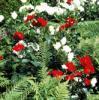 rozen, soorten, roos, tuin, rozentuin, boeket, bloemen, verzenden, versturen, cadeau, doen, pakket, boeket, witte, rode, roosjes, kopen