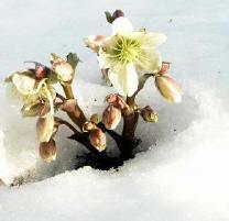 wintergroen, planten, wintergroene, winterhard, winterharde, winter, bestendig, vorst, vorstbestendig, kou, wit, witte, bloemen, bloem, soorten, vaste, koude