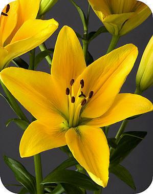 Lilium, cheops, lelie, soorten, snijbloemen, lang, houdbaar