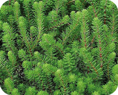 Zuurstofplanten voor de vijver soorten planten vijverplanten water zuiverende waterplanten kiezen