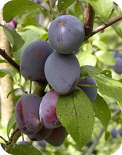 Fruit uit de eigen tuin is nog eens zo lekker fruittuin appels peren oogsten soorten rassen fruit