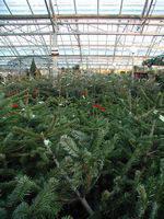 kerstboom, kiezen, kopen, kerstbomen, soorten, water, warmte, naalden, kleuren, grootte, hoogte, prijs