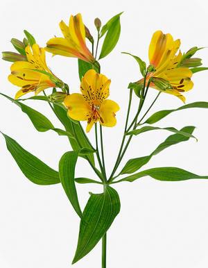 Alstroemeria 'Senna', gele snijbloem, Pasen, paasbloemen, incalelie, vaas, soorten, snijbloemen, verzenden
