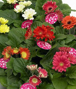 Gerbera's zijn niet enkel mooie snijbloemen maar ook prima kamerplanten.