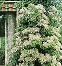 Klimplanten, leiplanten en slingerplanten zorgen voor bloeiende muren soorten klimmers planten