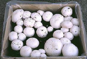 Champignons en andere paddestoelen zelf kweken