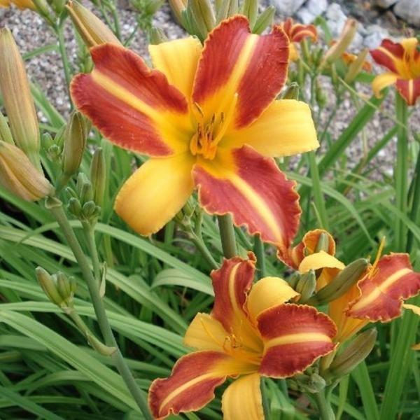 Hemerocallis of daglelie smaakvol voor het oog en de tong eetbare bloemen eten hemerocalis