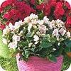 Betulia doet het goed als kamerplant, maar kan ook bloeien op terras en balkon buiten in de tuin