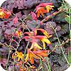 Crocosmia, ook wel gekend onder de naam montbretia bloembol planten soorten mooie snijbloemen