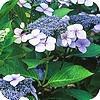 Hortensia's belangrijkste soorten Hydrangea en verzorging snoeien hortensia teller lacecaps bolhortensia
