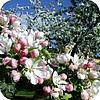 fruit, bloemen, bloei, soorten, kleur, afbeeldingen, foto, kleuren, mooie, planten, lekker, eten, Fruitbloesem, soorten,