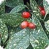 Aucuba of broodboom wintergroene sierheester of struik geschikt voor een haag met mooie bessen