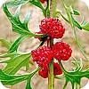 Aardbeispinazie of Chenopodium capitatum, een vergeten groente met mooie vruchten