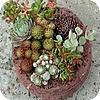 Sedums in potten op terras balkon onderhoudsvriendelijke planten weinig verzorging sedum soorten vetplanten
