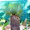 planten Yucca thompsoniana, palmlelie, soorten exotische planten, drainage, grond, water