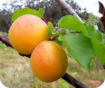 Fruit voor warme plaatsen: perziken, abrikozen, amandelen en vijgen soorten voor de tuin planten