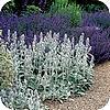 Grijsbladige planten zorgen voor rust en sfeer in de tuin kunnen goed tegen droogte lavendel snoeien