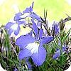 Lobelia's in de tuin of in hangmand hanging basket opvullen met lobelia in combinatie met andere bloemen
