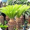 zaaien boomvarens cycas revoluta palmen tropische plant valse sagopalm of cycaspalm zaden planten