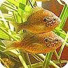 zonnebaars houden in de vijver soorten vissen geschikt als vijvervis of in aquarium houden van vissen