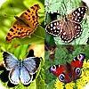 Vaak voorkomende soorten vlinders in de tuin met foto en beschrijving