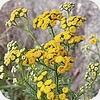 Boerenwormkruid, Tanacetum vulgare, bestrijding, vlooien, ongedierte, wormen, vliegen, muggen, motten, verdrijven