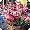 Sedum en asters zijn Nazomerbloeiers die nog lang kleur aan het balkon of terras geven