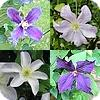 Clematissen snoeien, clematis, zomer, bloei, snoei, soorten, grootbloemige clematissen