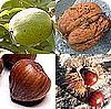 noten, hazelnoten, okkernoten, walnoten, tamme kastanjes, tuinen, soorten, hazelaar, okkernoot