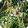 Jeneverbes Juniperus communis snoeien coniferen gebruik in de tuin soorten bessen juniperis