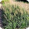 Siergrassen soorten calamagrostis stipa struisriet als siergras in de tuin in groep of solitair planten