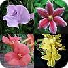 Klimplanten en leiplanten, soorten, blauweregen, klimop, wilde wingerd, clematis, campsis, wisteria, klimrozen