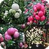 Gaultheria soorten bergthee pernettya parelbes rode bessen witte en roze bessen in de winter wintergroene planten op terras