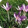 Colchicum of herfsttijloos: een najaarsbloeiende bloembol die sterk lijkt op een krokus.