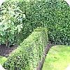 beuk, haagbeuk, klimop, haag, planten, hagen, soorten