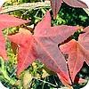 Liquidambar, amberboom, soorten, bomen, mooie, bladeren, herfst, verkleuren