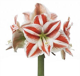 Hippeastrum 'Superstar' een amarillis met supergrote bloemen een grote bloembol voor in de huiskamer