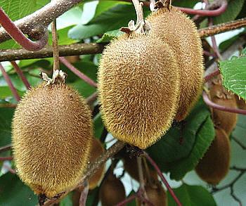 fruit, klimplanten, soorten, kiwi, druiven