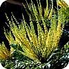 sierstruiken, sierstruik, struik, heester, heesters, soorten, sierheester, sierheesters, kopen, soort, ruiken, lekker, geuren, geurende, fijn, aromatisch, blad, bloemen, bloem, bloei, bloeien