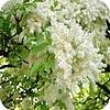 Pluimes, Fraxinus, ornus familie, olijven, soorten, bomen, gebruik, snoei, plantwijze,...