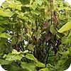 Bomen, bladeren, takken, verwelken, Catalpa, verwelkingsziekte, snoeien, Trompetboom, sterven, dode, zieke, bladeren, afsterven, ziek, ziektes